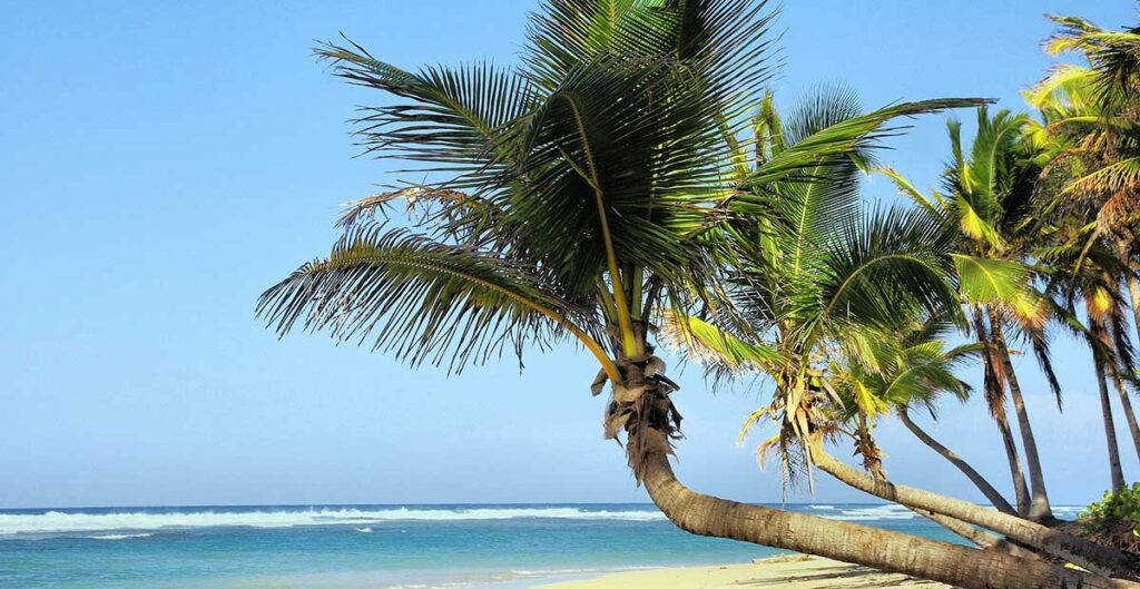 Kuba palm